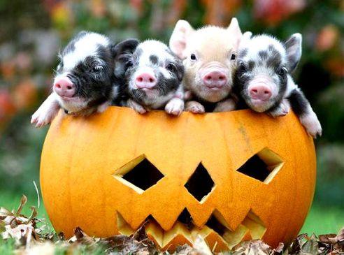 12-Cerdos